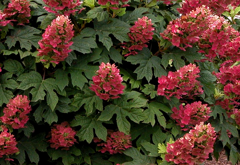 насыщено-бардовые цветы гортензии