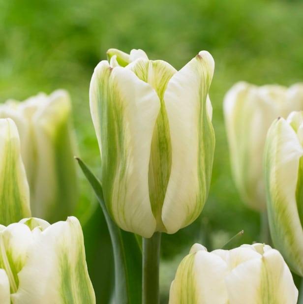 зеленоцветный тюльпан