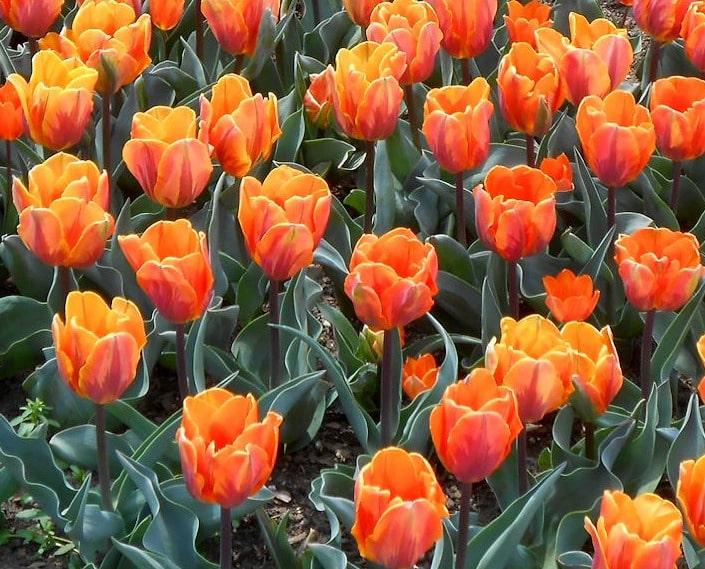 дарвинов тюльпан
