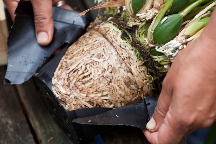корни орхидеи сильно разрослись