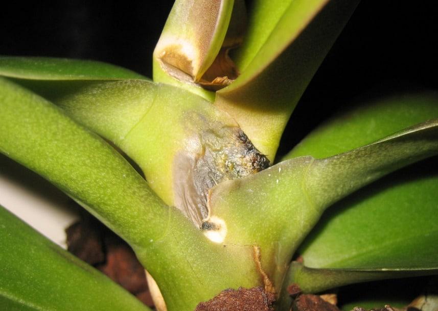коричневая гниль орхидеи