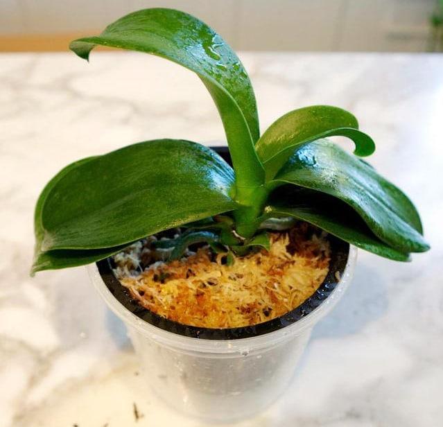 молодое растение орхидеи