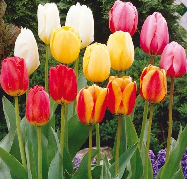 поздние сорта тюльпанов
