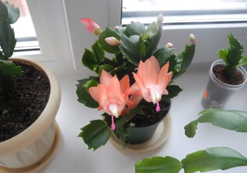 молодое растение декабрист