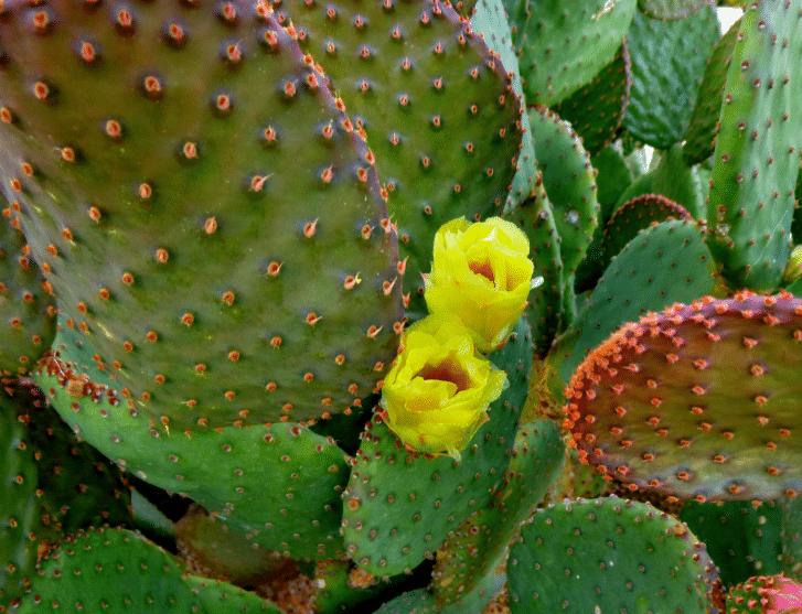 опунция окрас и цветы