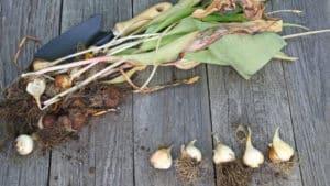 луковицы перед хранением
