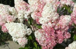 изменение оттенка соцветий