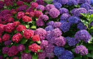 гидрангея цветет