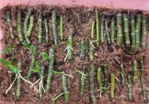 выращивание из цветоноса