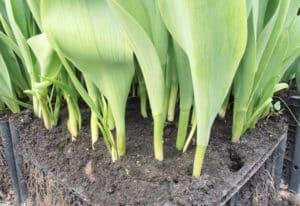 Почему не цветут тюльпаны: основные причины проблемы и методы её устранения