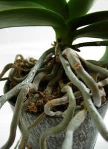 корни вылезли из горшка