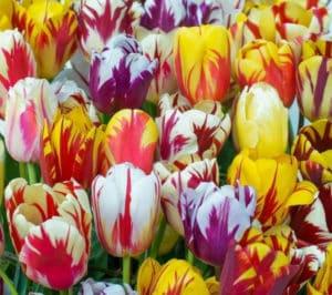 Популярные сорта тюльпаны: какие из них рекомендованы для выгонки к 8 марта