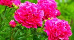 пион в цвету