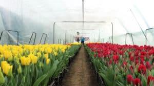 цветение тюльпана в теплице