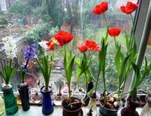 ососбенности цветения тюльпанов