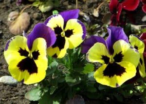 разнообразие оттенков садовой фиалки