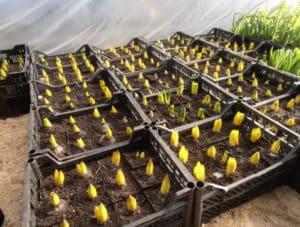 молодые тюльпаны при проращивании