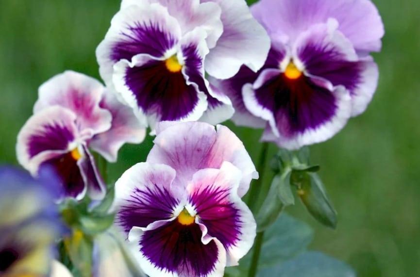 не всходят семена виолы на рассаду