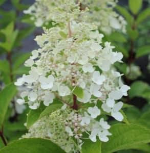 густой цветонос гортензии
