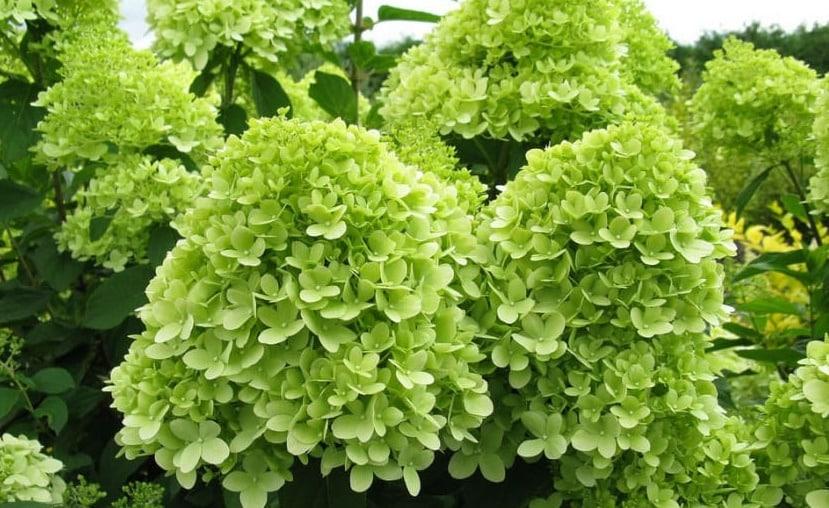 зеленые соцветия