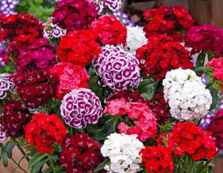 цветение турецкой гвоздики