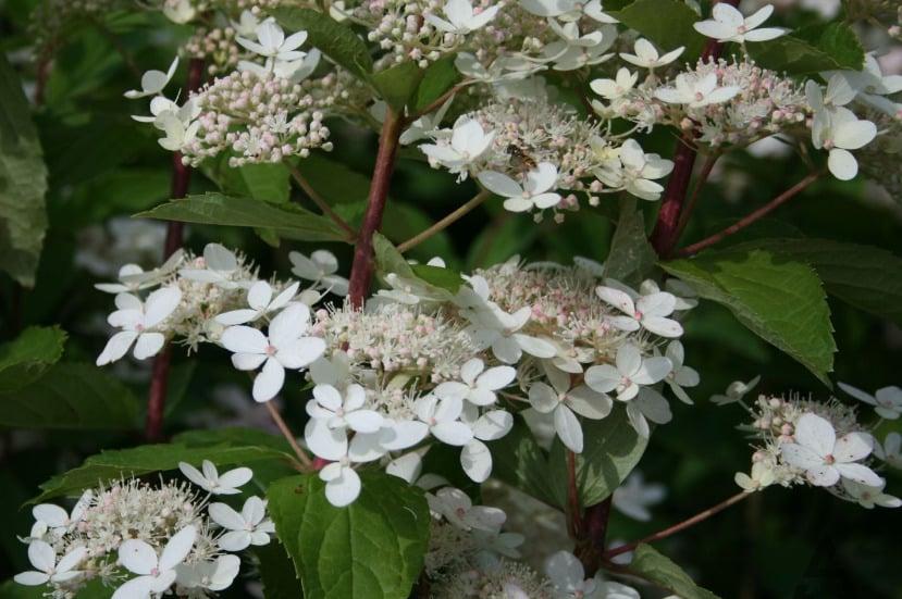 особенности цветения сорта