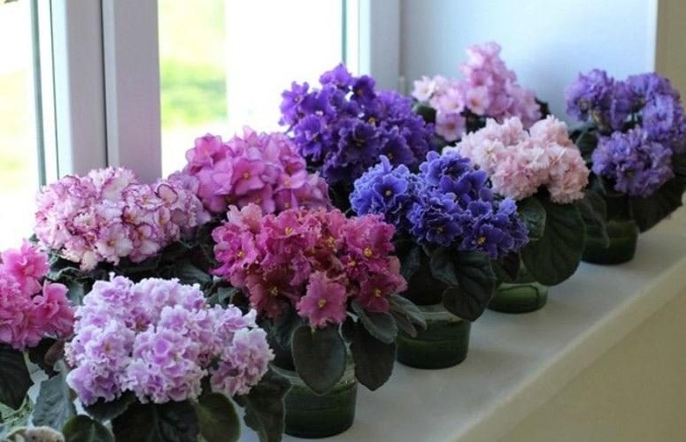 как цветут сенполии