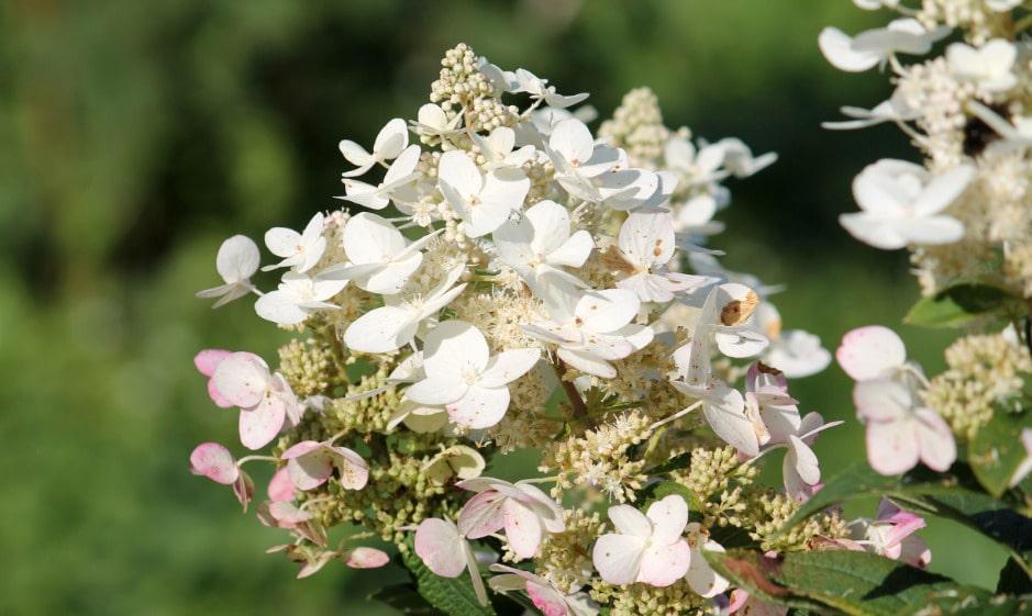 пышное цветение сорта тардива