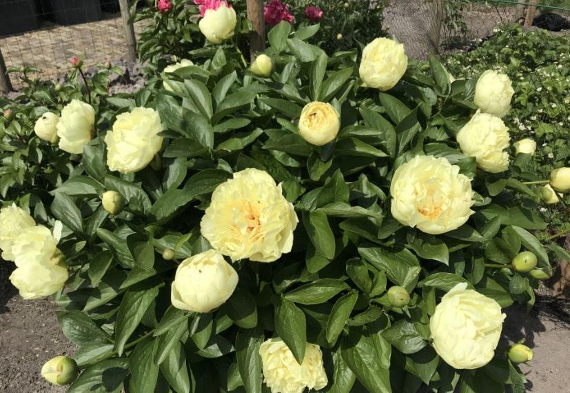 как цветет пион лемон шифон