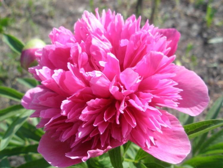 внешний вид пиона сорта розеа плена