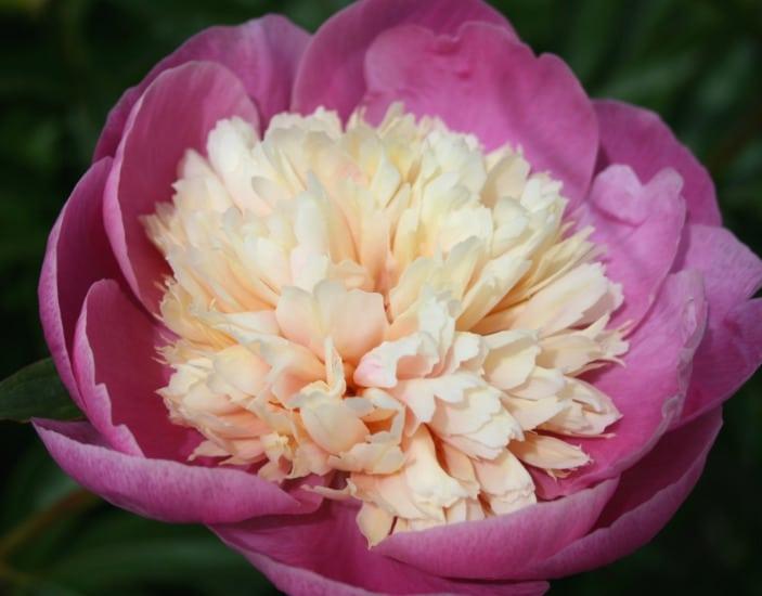 красивое цветение пиона боул оф бьюти