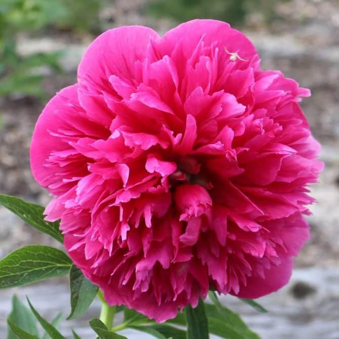 как выглядит пион розеа плена